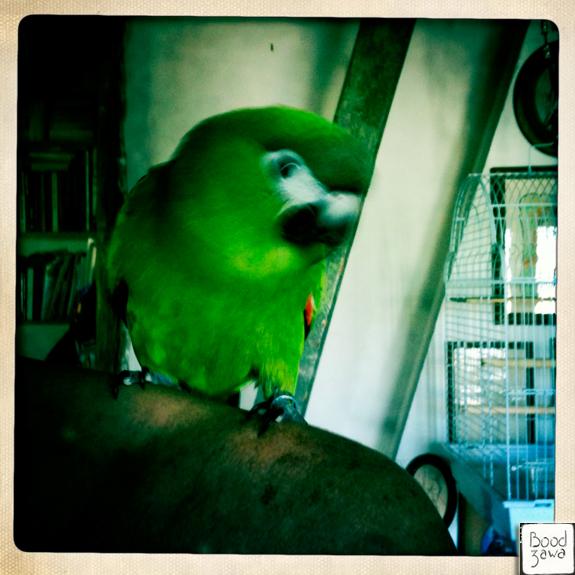 coco le perroquet
